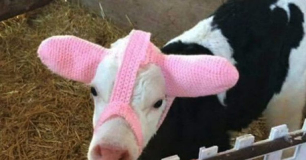 Farmers Are Protecting Baby Cows From Frostbite With Adorable Knitted Hoodies