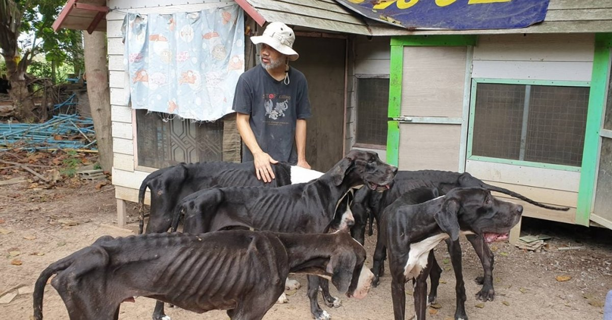 King Of Thailand Adopts 13 Starved Great Danes Found Near Death At Breeding Farm