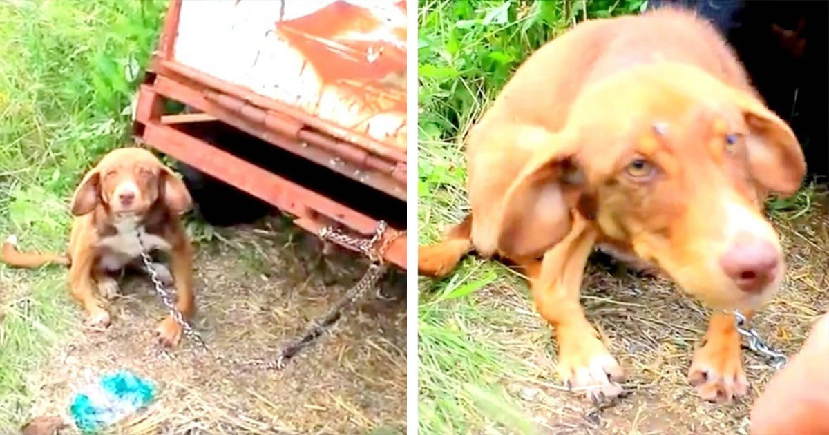 Owner Chained His 'Diseased' Puppy To An Old Truck And Left Him To Starve For Ten Days