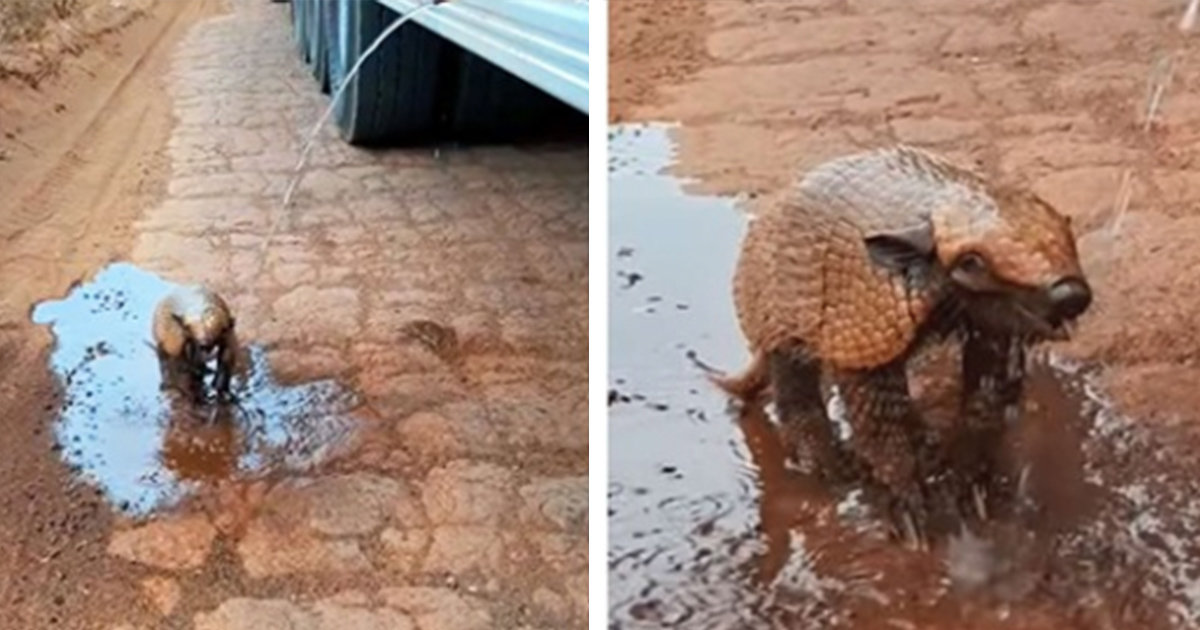 Dehydrated Armadillo Can't Contain Himself When A Man Stops To Give Him A Drink Of Water