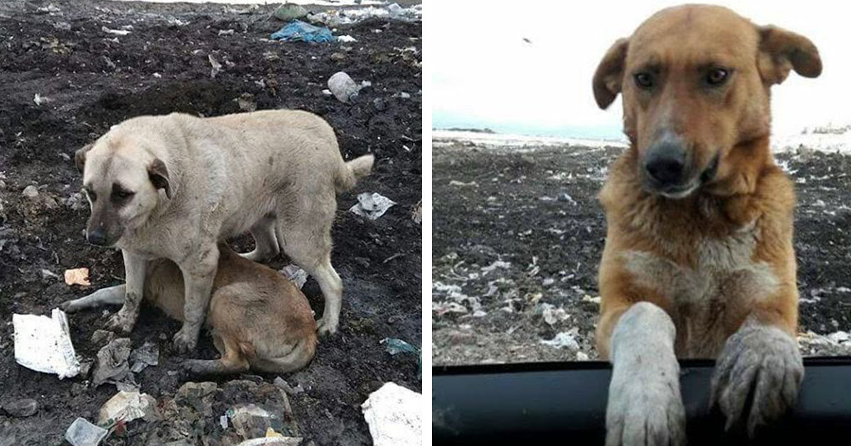 Stray Dog Who Lived At The Garbage Dump Would Beg People To Adopt Him