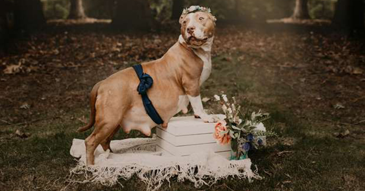 Rescue Rescue Pit Bull Does An Adorable Maternity Shoot To Help Her Puppies Find Loving Homes