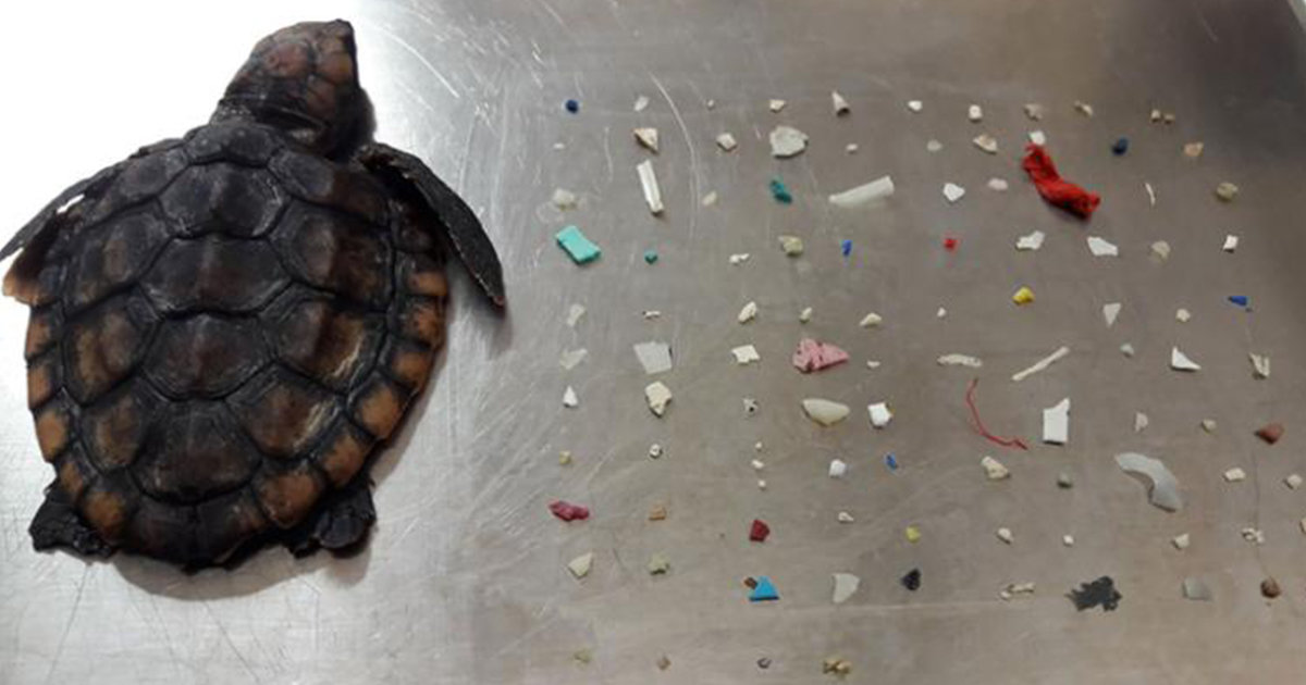 Baby Turtle Dies With 104 Pieces Of Tiny Plastic In Its Stomach
