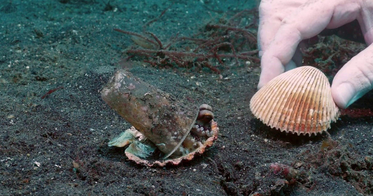Divers Gently Convince An Octopus To Trade His Plastic Cup For A Seashell