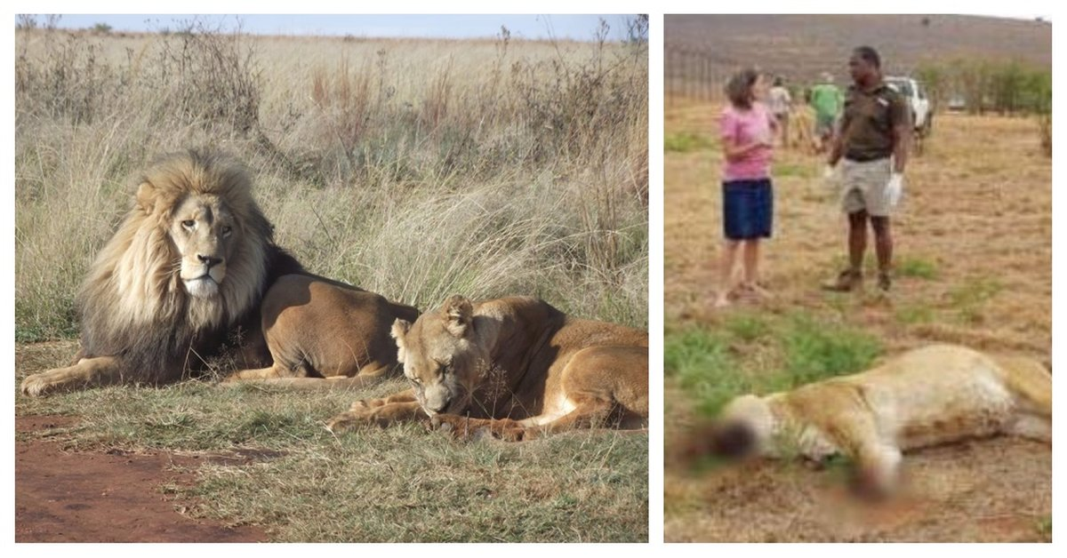 Pride Of Lions Poisoned And Butchered By Poachers For Magic Potions