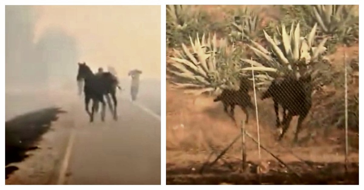 Mama Horse Goes Back Towards Danger To Save Her Foal From California Fire