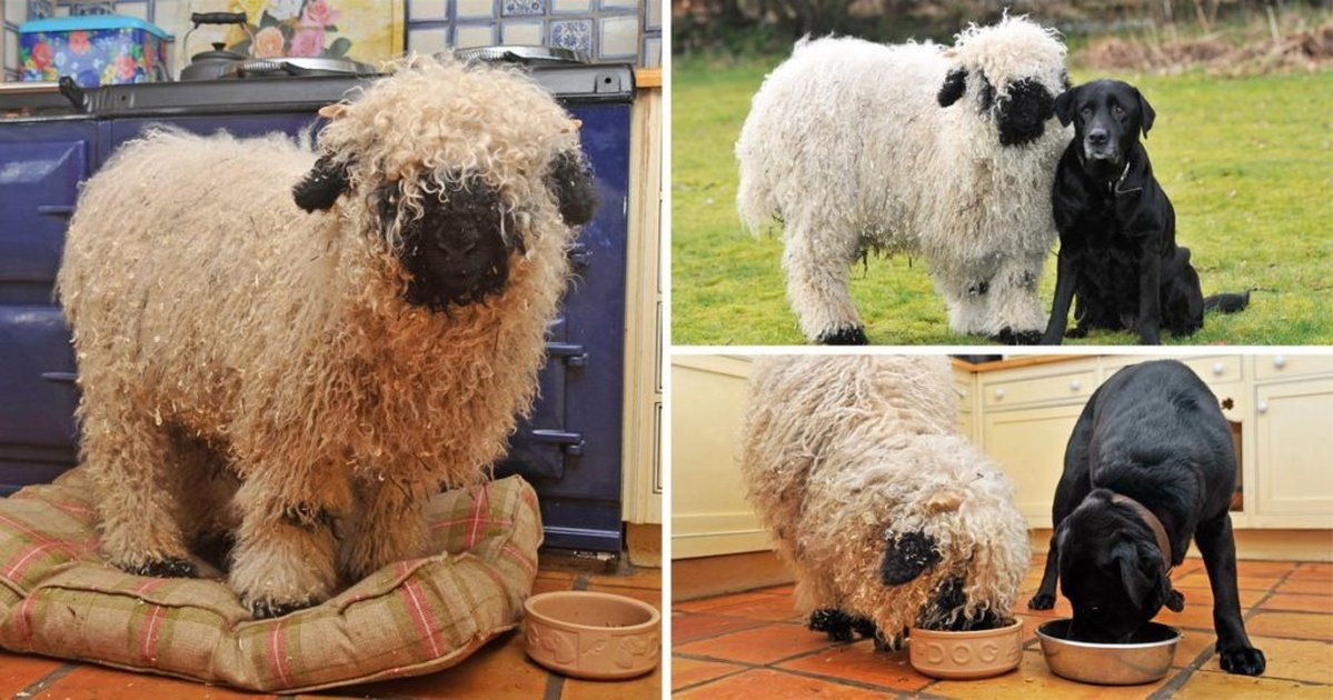Adorable Sheep Thinks He's A Dog, Likes To Play Fetch And Go On Walks