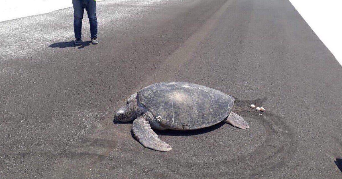 Turtles Goes Home To Lay Eggs, Finds That Her Beach Is Now An Airport Runway