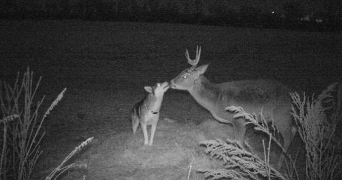 "Lost Dog Caught On Trail Camera Spending A Couple Days With Her 'Buck Boyfriend"" In The Woods"