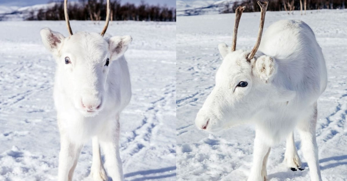 Photographer Shares Adorable Pictures He Took Of A Rare White Baby Reindeer