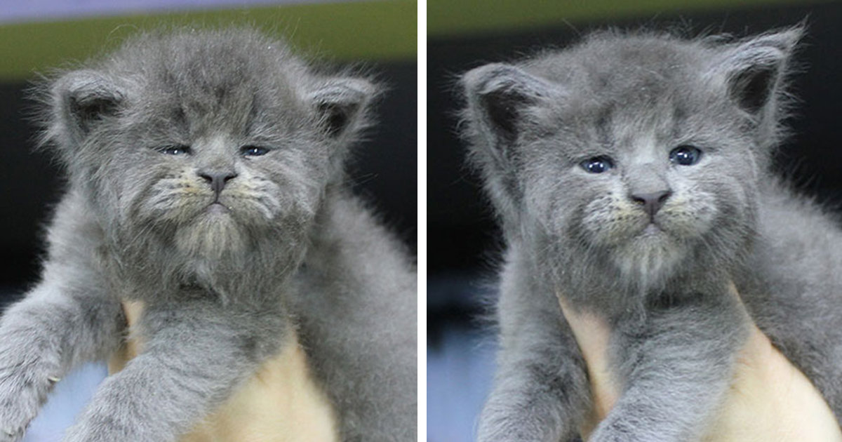 This Entire Litter Of Maine Coon Kittens Were Born With Grumpy Faces