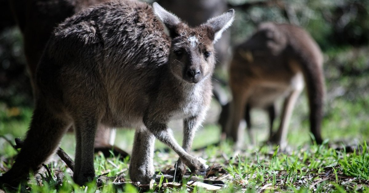 Man Who Slaughtered 21 Kangaroos With Utility Truck Is Sentenced To Just 500 Hours Of Community Service