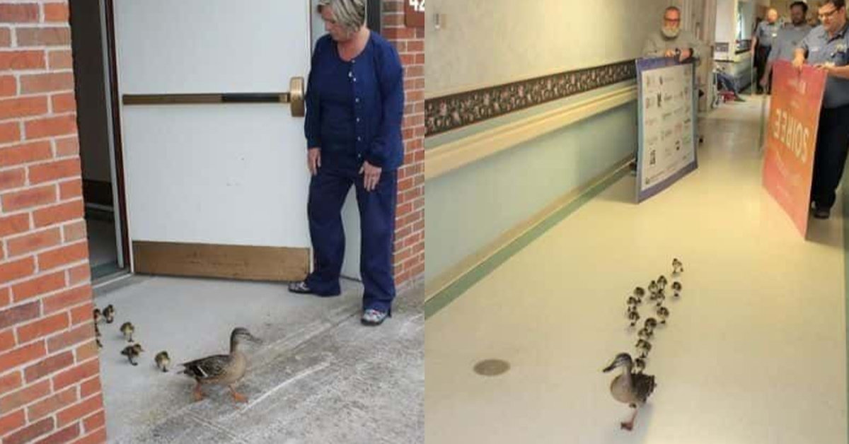 Mama Duck Brings Her Newborn Ducklings To Visit A Nursing Home Every Spring