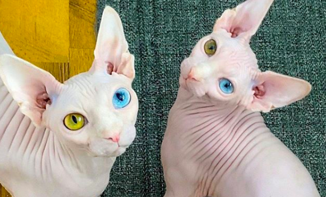 Sphynx Cats Mocked For Their Unusual Appearance Find Love On Instagram The Animal Rescue Site News