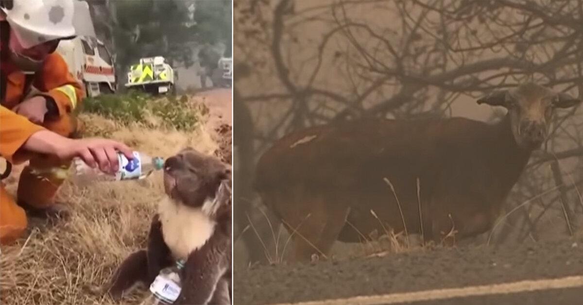 Half a Billion Animals Killed In Australia Wildfires