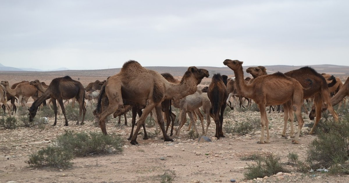 Australia Plans To Shoot 10,000 Camels Due To Lack Of Water