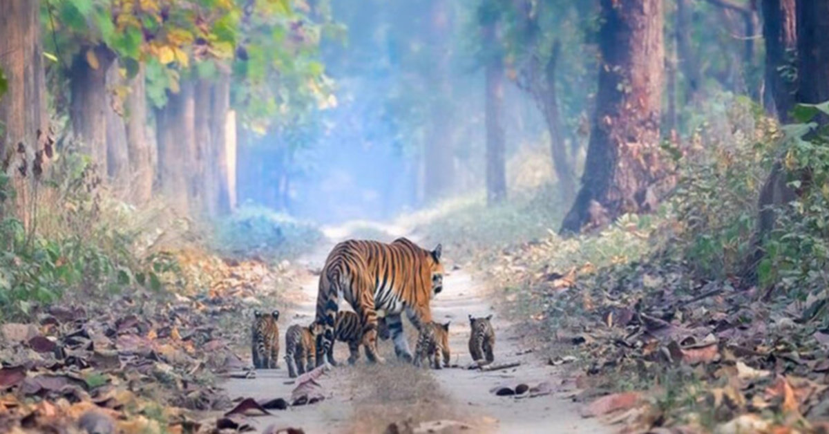 Photo Of A Tigress Walking Through The Forest With Her Five Cubs Goes Viral