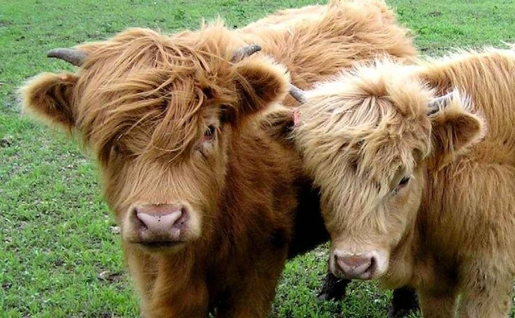 Miniature Fluffy Cows Exist And They're Absolutely Adorable
