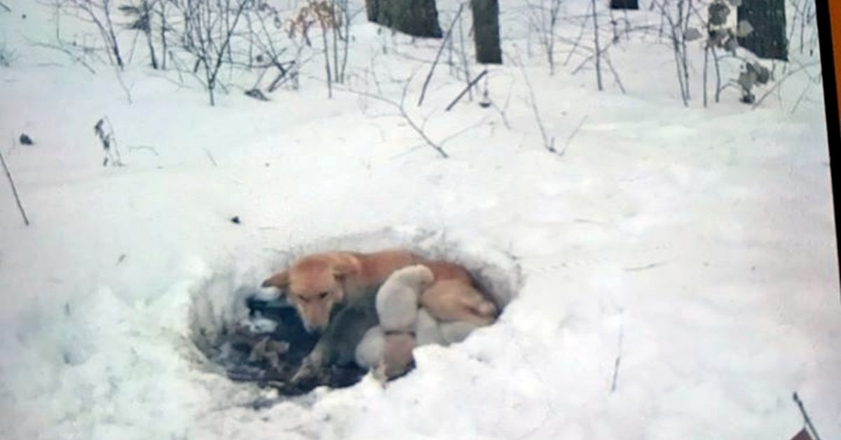 With Nowhere Else To Go, Mother Dog Burrows Into Snowdrift And Wraps Her Body Around Her Puppies