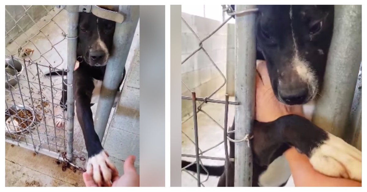 Shelter Dog Begs Everyone For Love As They Pass His Kennel