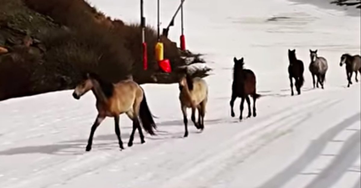 Wild Horses Have A Blast Running Through Empty Ski Resort In Spain The Animal Rescue Site News