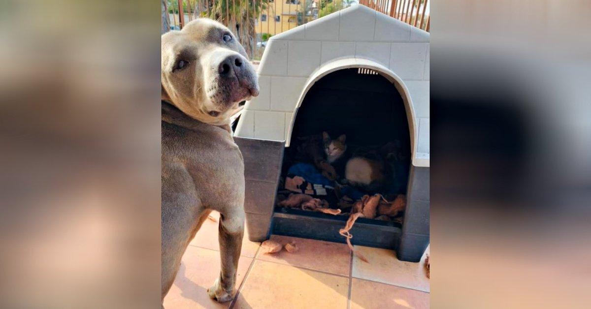 Kind Pit Bull Offers His Doghouse To Pregnant Stray Cat And Stands Guard As She Has Her Kittens