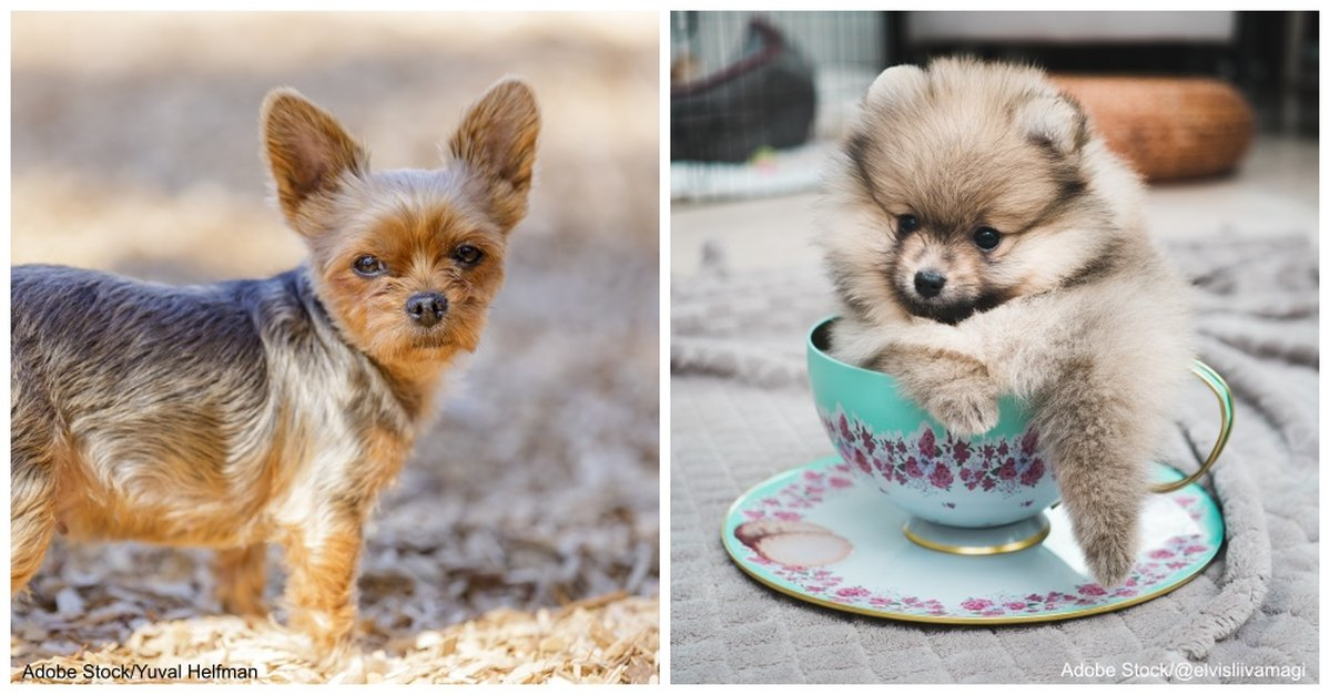 Teacup Dogs And Their Origins Breeds And Characteristics The Animal Rescue Site News