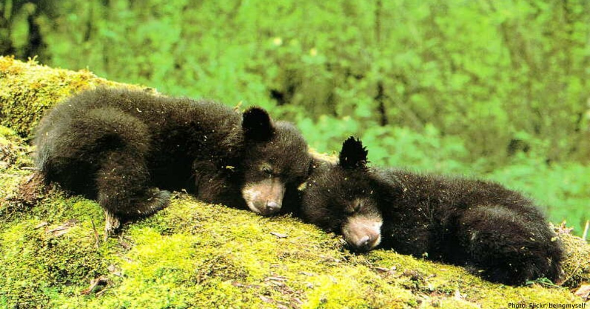 Trump's New Plan for Alaska's National Preserves Will Let Hunters Shoot Bear Cubs Right In Their Dens