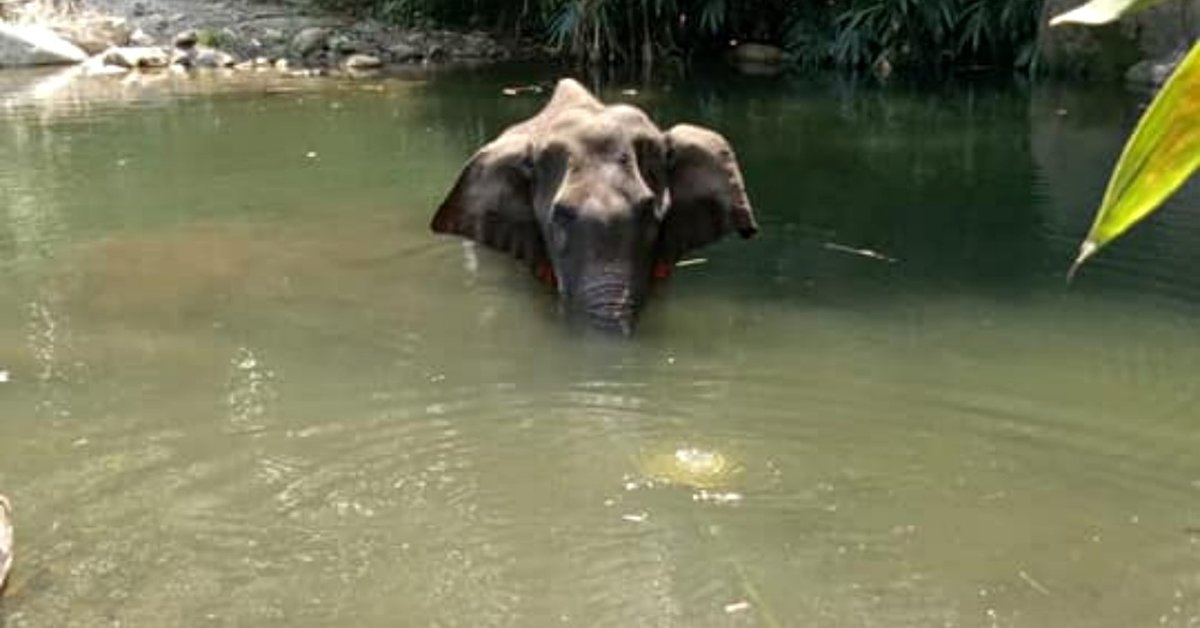Pregnant Elephant Dies After Locals Fed Her Pineapple With Firecracker Inside
