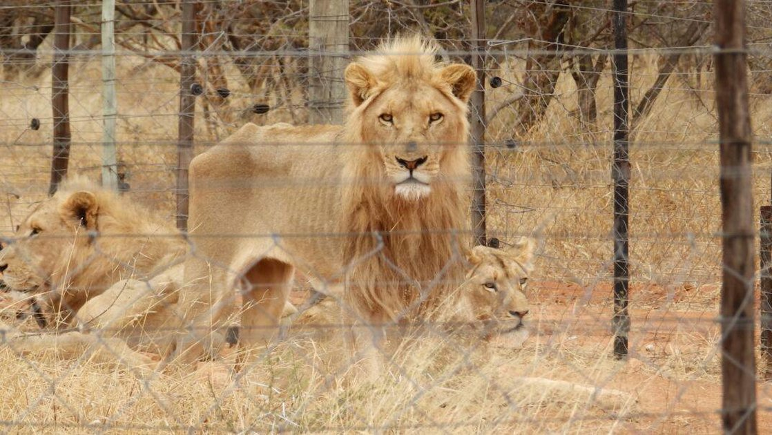 Over 10,000 Lions Are Being Bred In Captivity Just To Be Hunted ...