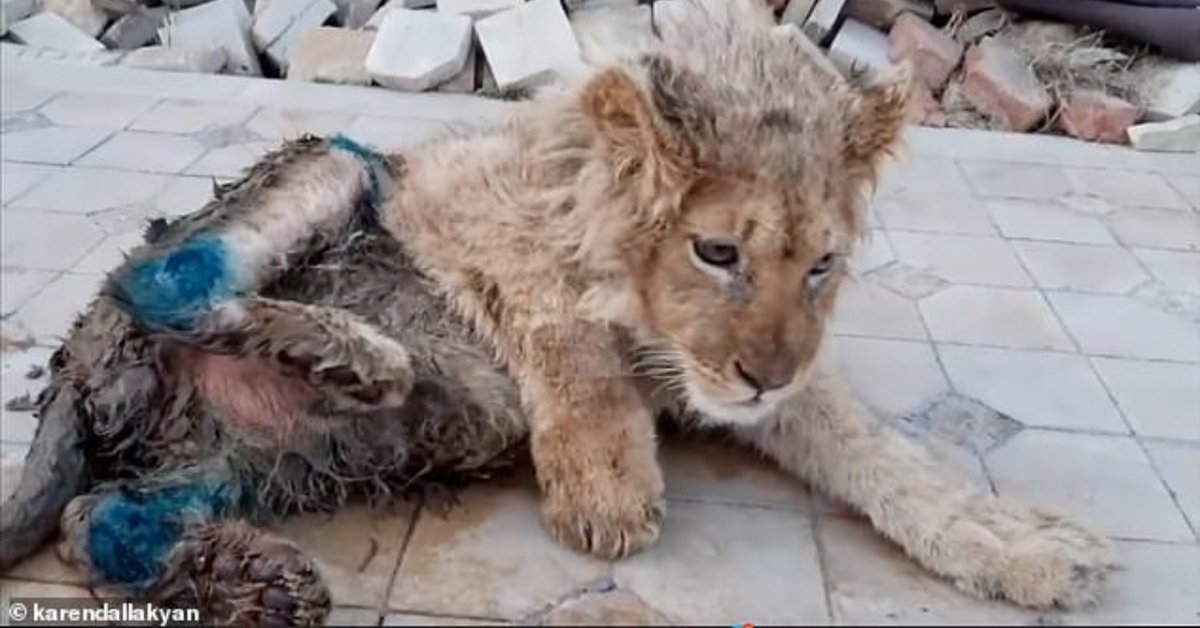 Lion Cub's Legs Intentionally Broken So Tourists Could Take Photos With Him