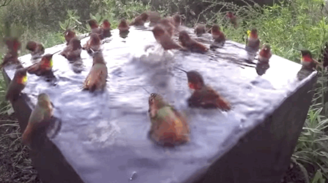 30 Hummingbirds Have A Miniature Pool Party In A Bird Bath
