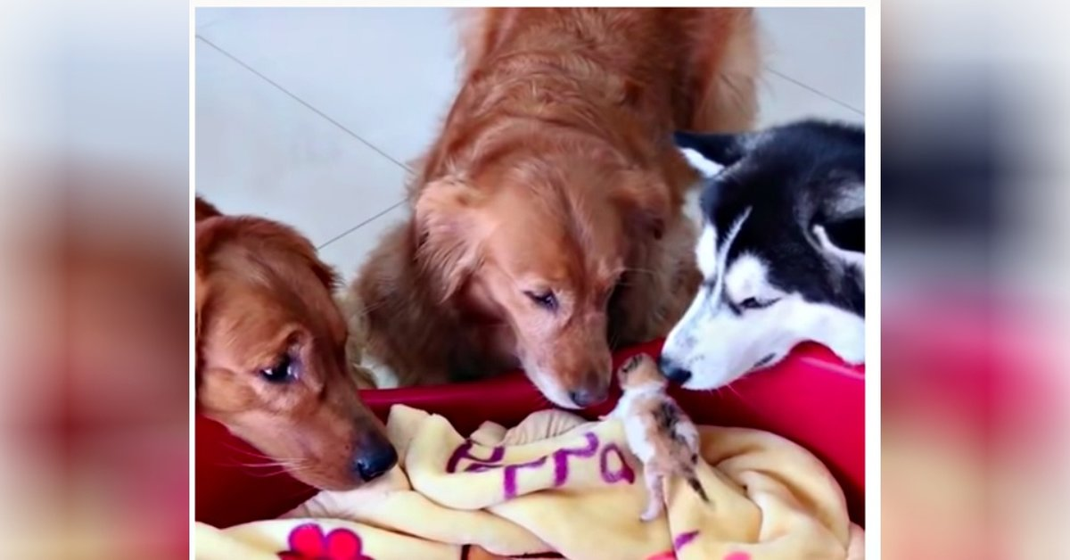 Two Golden Retrievers And One Husky Become Protectors Of Newborn Kittens