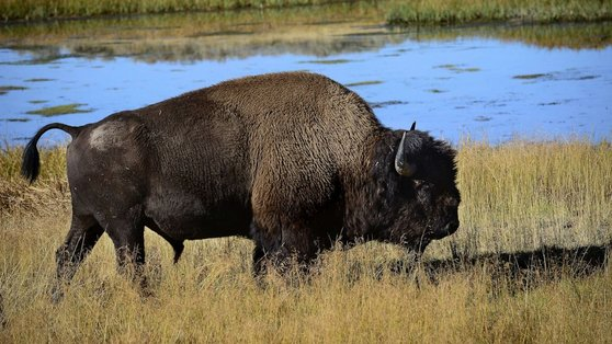 England's Forests Now Have Wild Bison For The First Time In 6000 Years