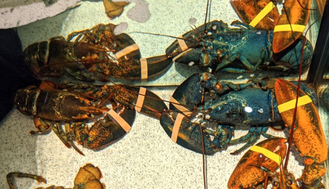Red Lobster Employee Donates Rare Blue Lobster To The Zoo After Finding It In Their Tank