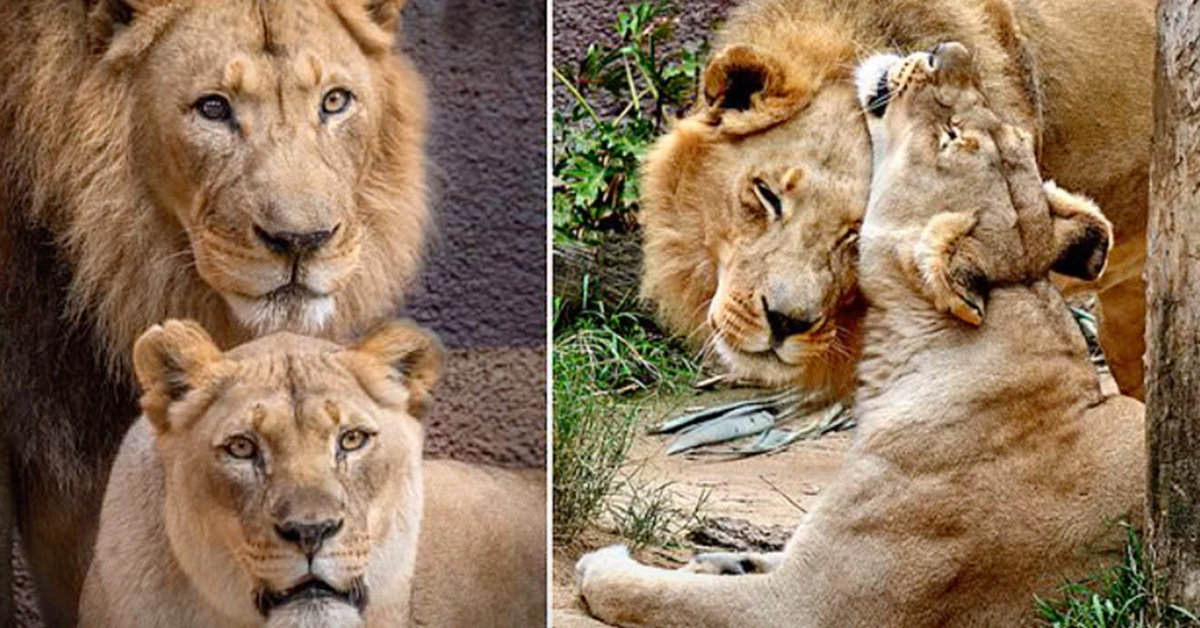 African Lions Hubert And Kalisa Euthanized Together So Neither Would Live Alone
