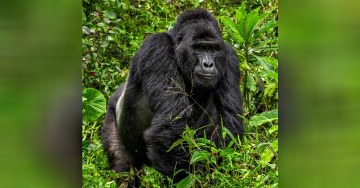 Poacher Who Killed Endangered Silverback Gorilla 'Rafiki' Sentenced To 11 Years In Prison