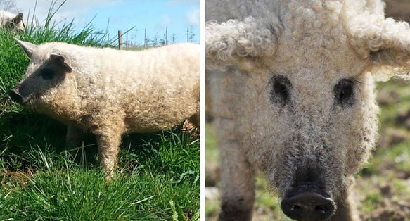 """""""Sheep Pigs"""" Are Real And They're Like Giant Fuzzy Dogs"""