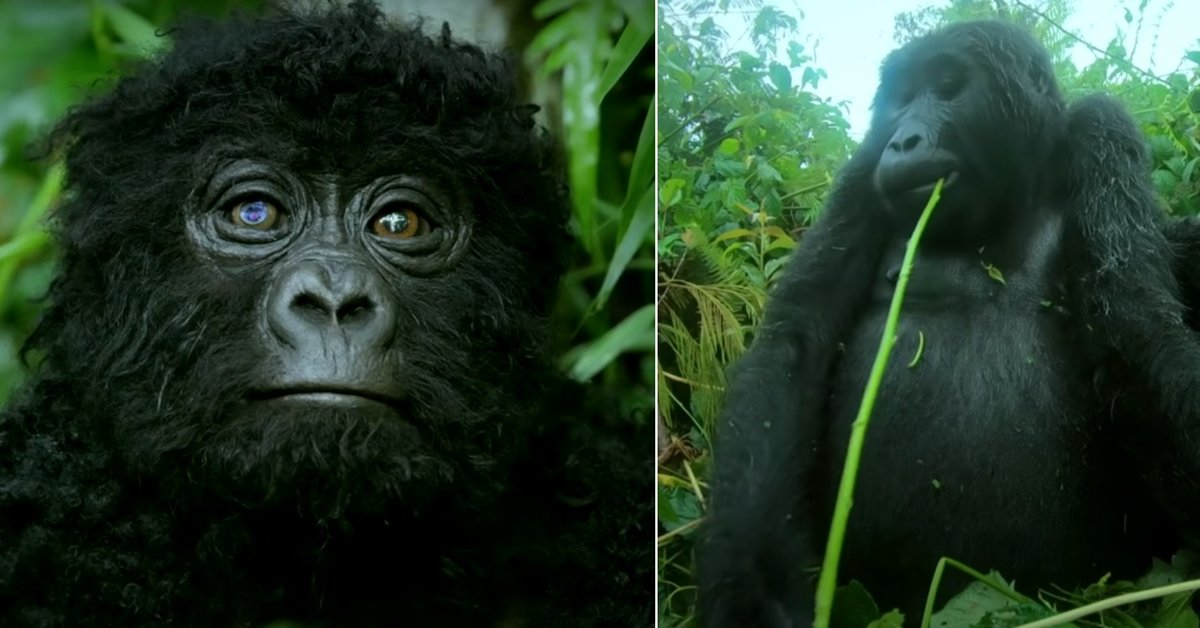 Video Captures The Rare And Beautiful Sound Of Gorillas Singing For The First Time Ever