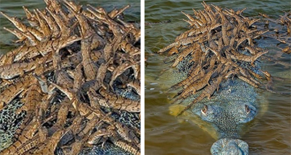 Critically Endangered Crocodile Photographed With Dozens Of Babies On His Back