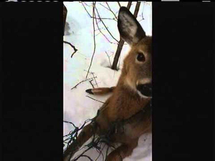 heroic officer saves deer in distress