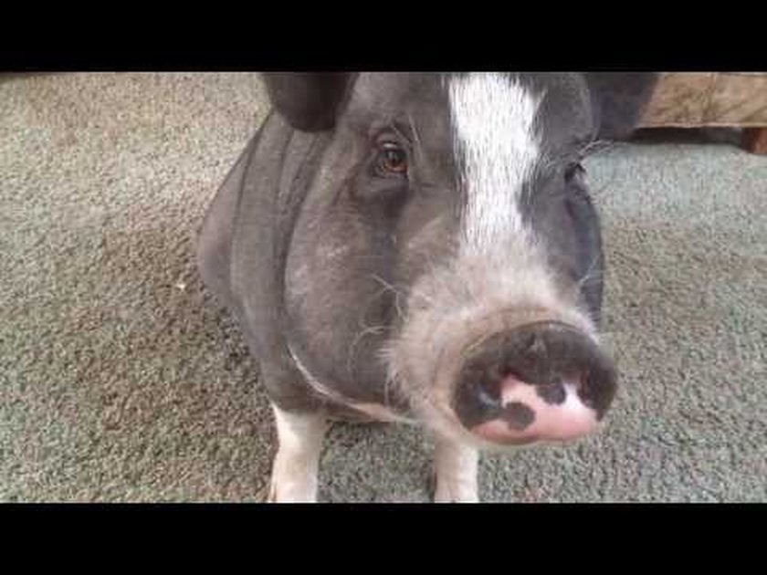 Want A Good Laugh Watch This Pig Try To Learn Table